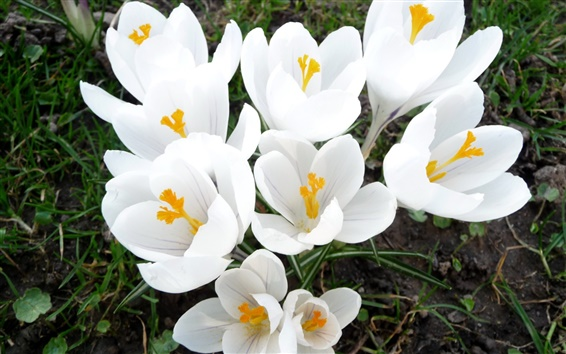 Wallpaper Flowers, white crocuses