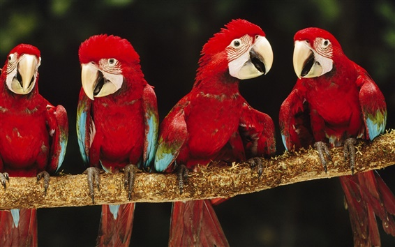 Wallpaper Four red parrot