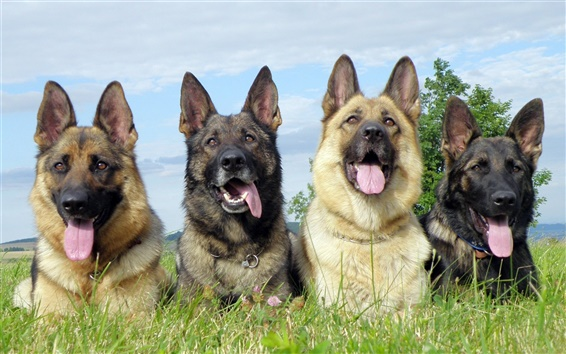 Wallpaper Four trained dogs