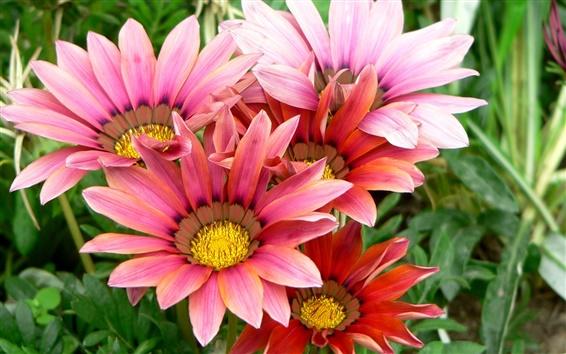 배경 화면 Gazania 꽃