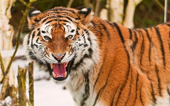 Fond d'écran Roi des bêtes, le tigre