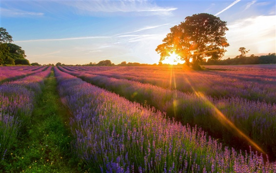 Wallpaper Lavender Garden of the sunset