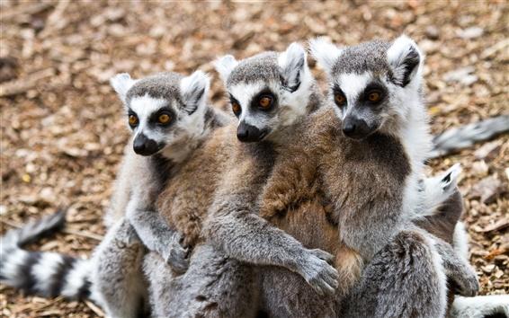 Wallpaper Lemurs
