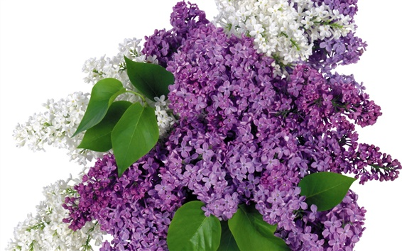 Wallpaper Lilac flowers