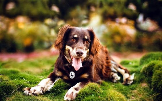 Обои Длинношерстные собаки в траве