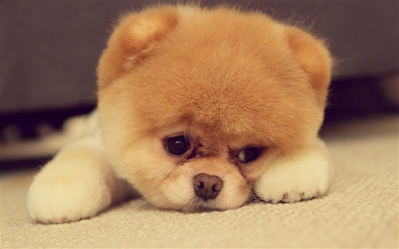 Wallpaper Pomeranian puppy is cute