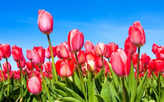 Wallpaper Red tulips under the blue sky