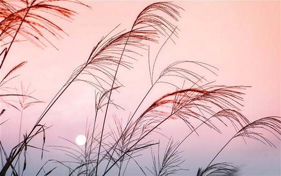 Wallpaper Sunset reed