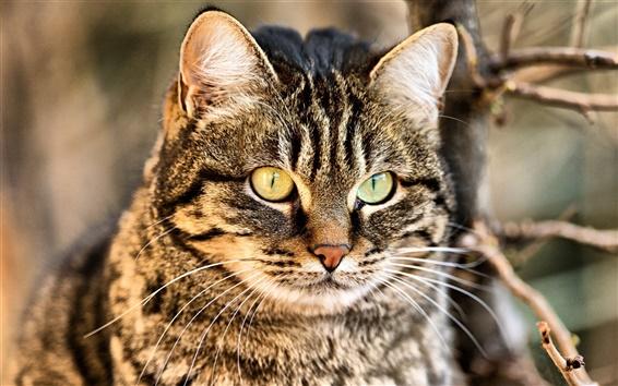 Fond d'écran Wildcat close-up