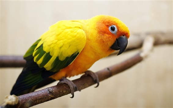 Wallpaper Yellow-orange feathers parrot