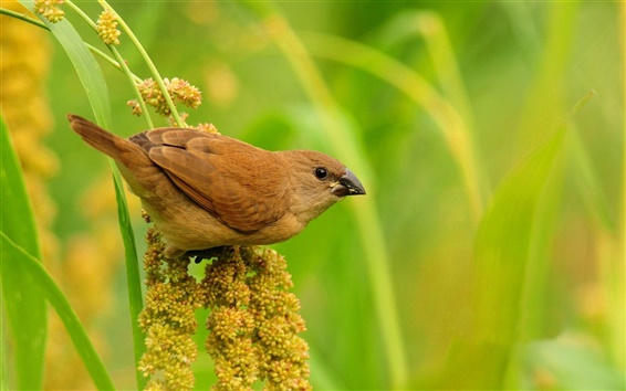 Wallpaper Brown bird