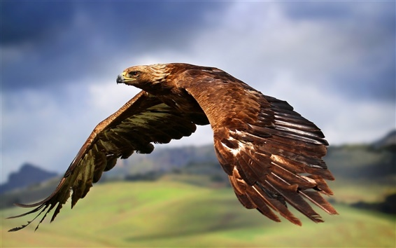Wallpaper Eagle flying in the sky