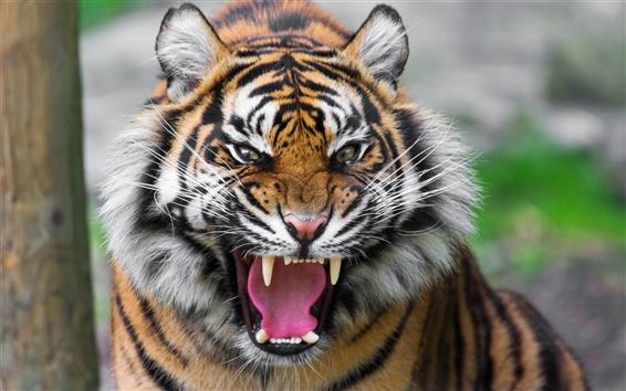 壁紙 獰猛な虎