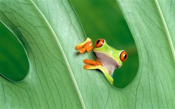Обои Лягушка крупным планом на зеленых листьев