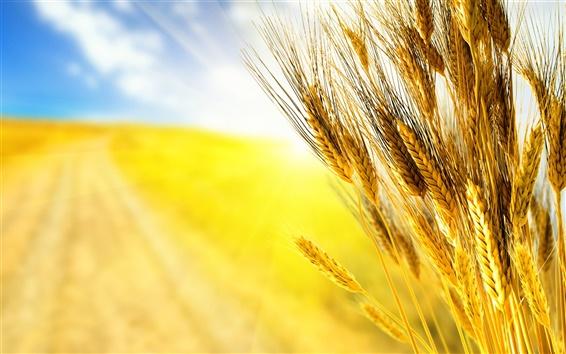 Wallpaper Golden wheat close-up