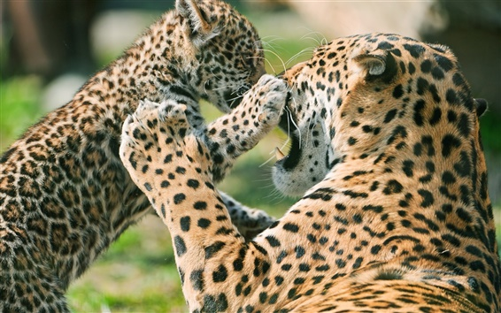 Wallpaper Leopard affection