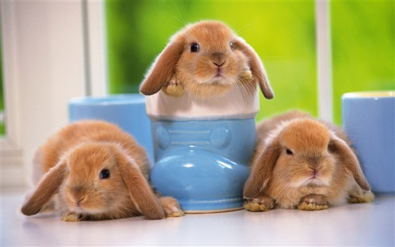 Wallpaper Lovely pets, rabbit