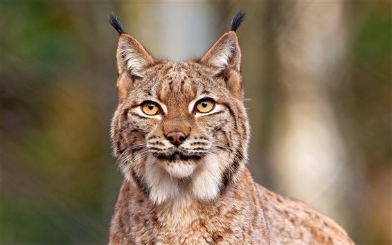 Обои Lynx крупным планом