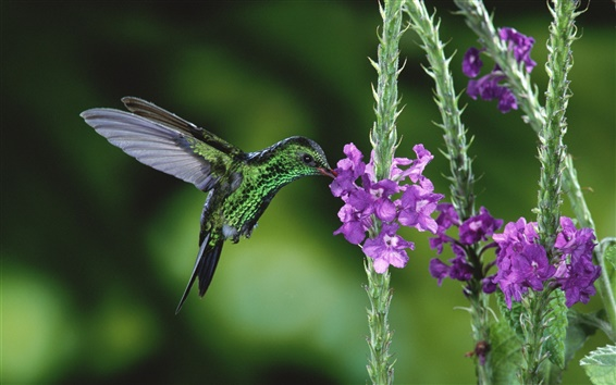 Wallpaper Nectar of hummingbird