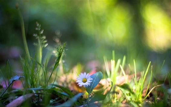 Papéis de Parede Na grama, flores silvestres macro fotografia