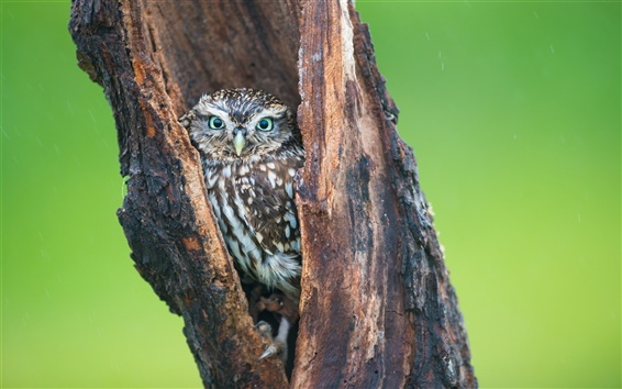 Wallpaper Owl in tree