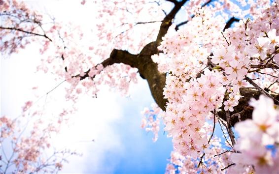 Обои Розовая вишня