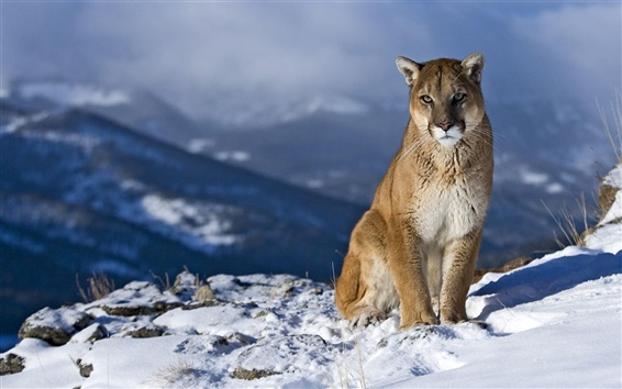 Wallpaper Puma in the winter