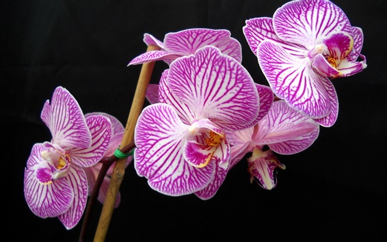Wallpaper Purple Phalaenopsis close photography
