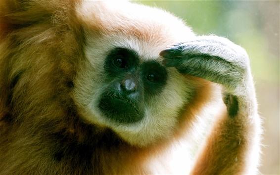 Fondos de pantalla La curiosidad del mono