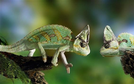 Wallpaper Two chameleon confrontation