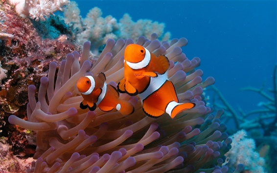 壁紙 水中の世界、美しい道化師の魚