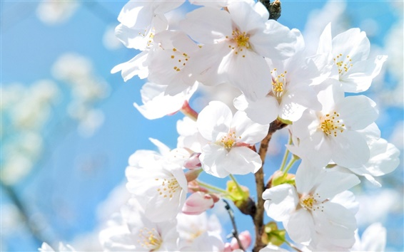 Wallpaper White cherry blossoms in spring