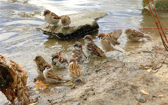 Wallpaper A group of sparrows preen their feathers at the waterside