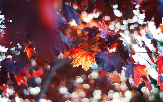 Fondos de pantalla Hojas de otoño, las hojas de arce rojo