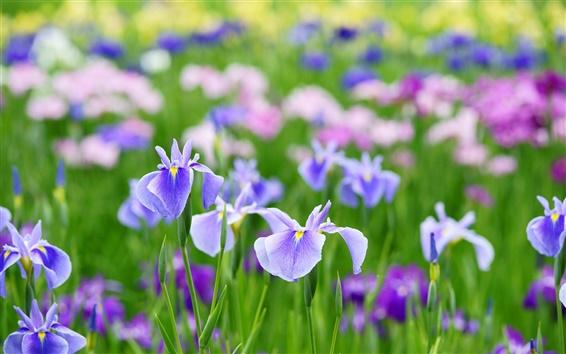 Обои Красивые цветы ириса летом
