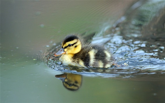 Wallpaper Cute little duck swimming