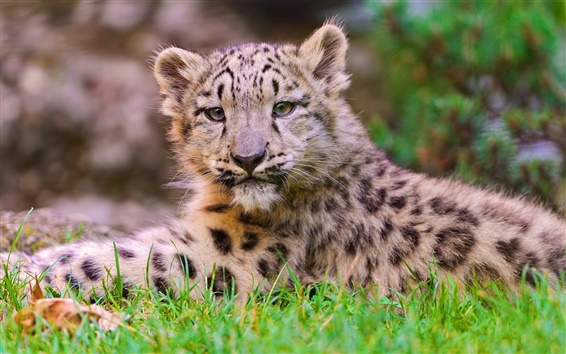 Papéis de Parede Pequeno bonito leopardo fotografia perto