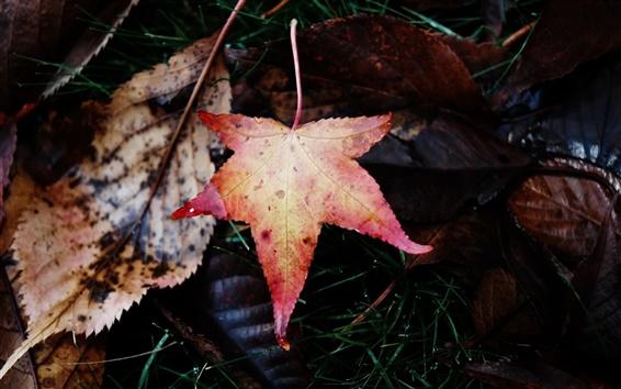桌布 愛上秋天的楓葉
