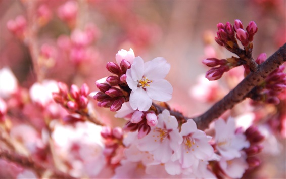 Wallpaper Flowers close-up of the cherry blossom season