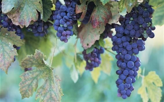 Wallpaper Fruitful grapes
