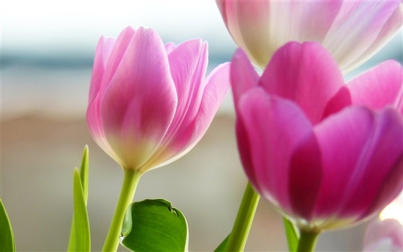Wallpaper Pink tulip flower close-up photography