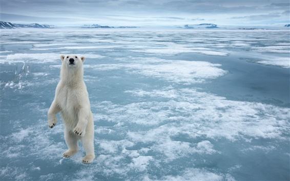 Wallpaper Polar bear in the cold Arctic ice
