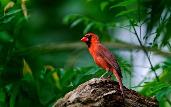 Fond d'écran Plumes d'oiseaux rouges