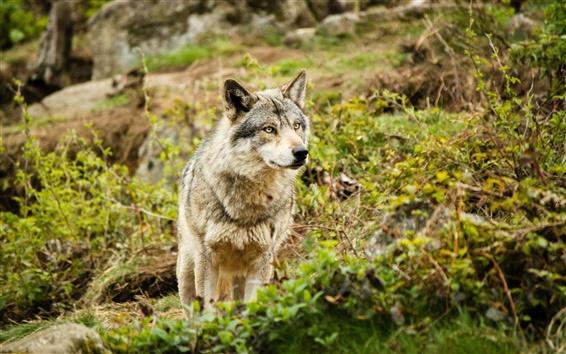 배경 화면 늑대의 눈