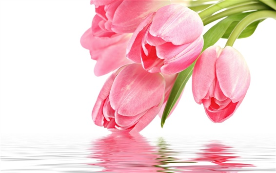 Wallpaper Tulip flower with water reflection