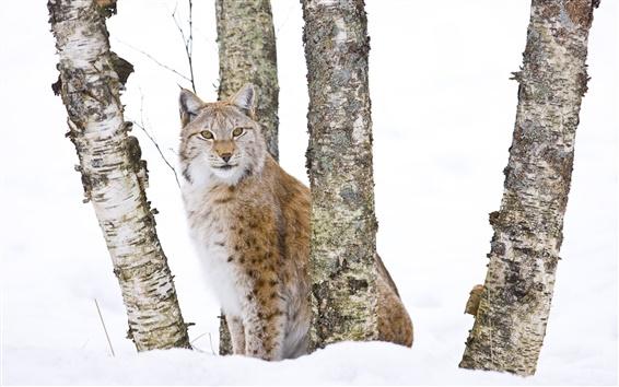 Wallpaper Wildcat in the woods