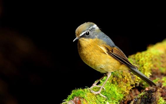 Papéis de Parede Pássaro amarelo close-up