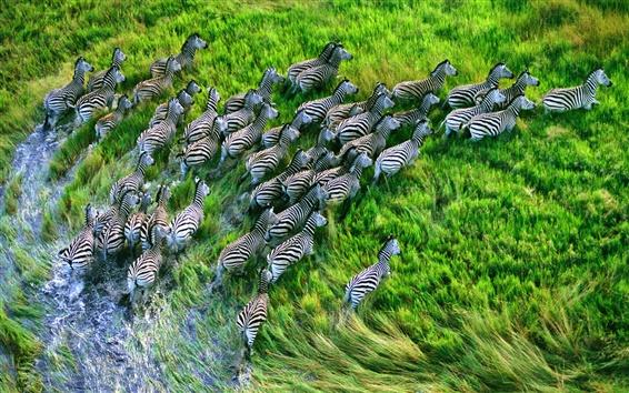 Wallpaper Zebra running in the grasslands
