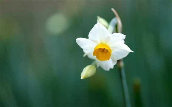Wallpaper A white daffodil macro close-up