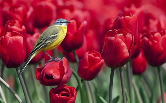 Wallpaper Bird standing on a red tulip flower